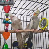 t_other_cockatiels12